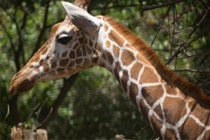 giraffe nice