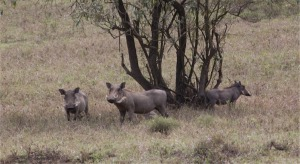 "Warthogs. We kept yelling out ""You calling me a pig?"" Pumba quote."