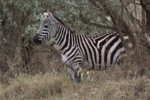 One of the few zebras that we could see up close.