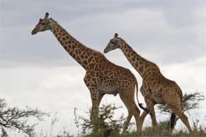 2 giraffes 3
