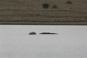 Yes, these are hippos.