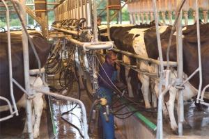 Pete milking cows in Cambridge.