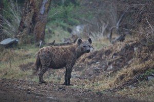 Hyenas are mean looking things