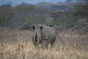 One of the 10 rhinos we saw
