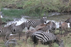 The one part of the park that did have water was invaded by zebras