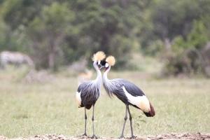 cranes kissing
