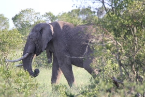 elephant hiding