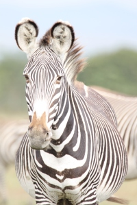 Greys Zebras are endangered