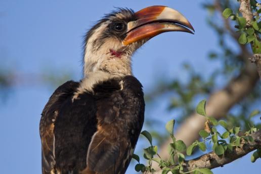 hornbill-staring