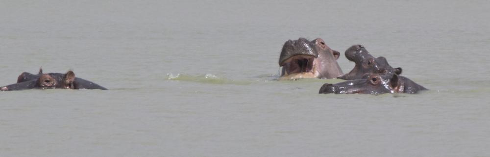 hippos 5